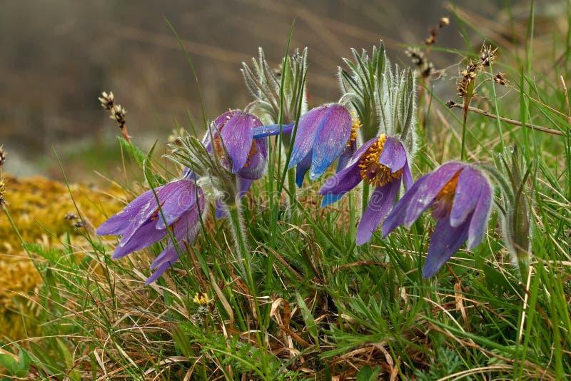 Lös Pasque blomma, vulgaris Pulsatilla, första vårblomma royaltyfri bild