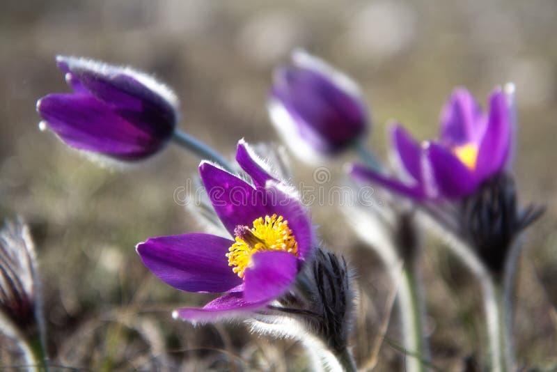 Lös Pasque blomma, vulgaris Pulsatilla, vårblomma arkivfoton