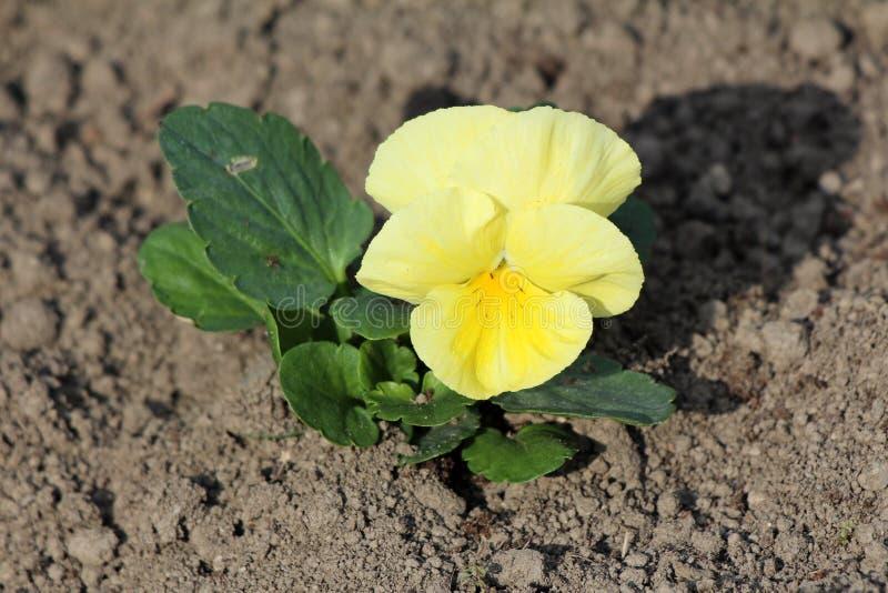 Lös pensé eller tricolor liten lös blomma för altfiol med gula kronblad som omges med mörkt - gröna sidor och torr jord fotografering för bildbyråer
