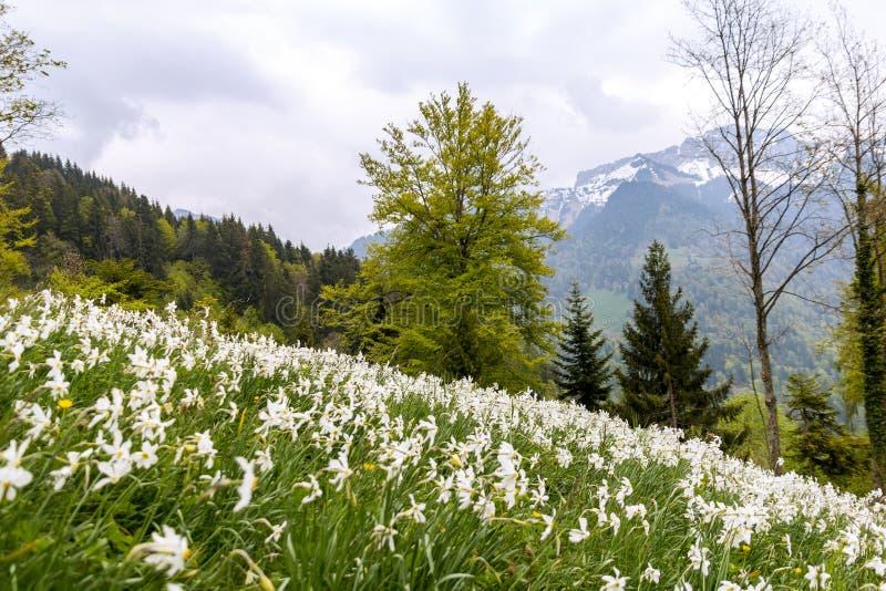 Lös poeticus för pingstliljablommapingstlilja på de schweiziska fjällängarna fotografering för bildbyråer
