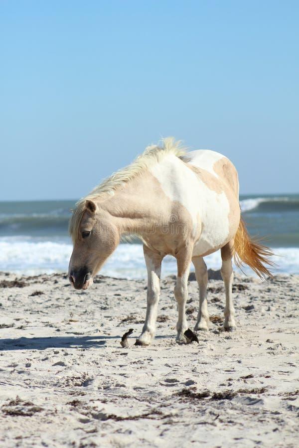 Lös ponny på den Assateague medborgarekusten royaltyfri fotografi