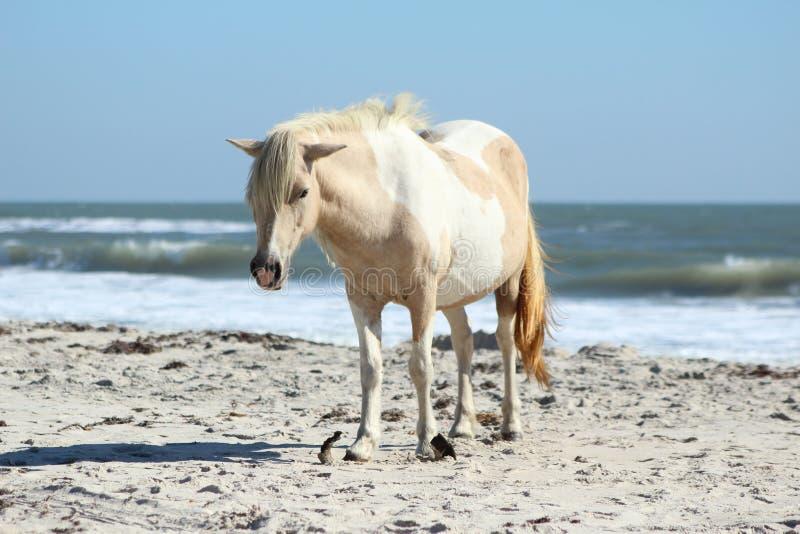 Lös ponny på den Assateague medborgarekusten royaltyfria foton