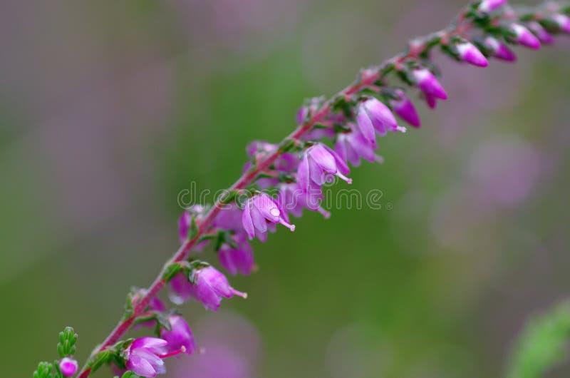 Lös purpurfärgad gemensam ljung, vulgaris Calluna, blomningnärbild, fotografering för bildbyråer