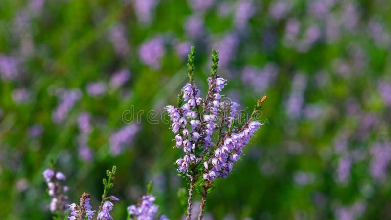 Lös purpurfärgad gemensam ljung, vulgaris Calluna, blomningnärbild, selektiv fokus, grund DOF royaltyfri foto