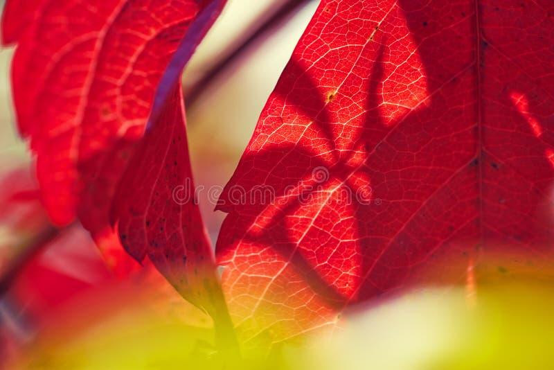 Lös röd vinbladåder royaltyfri foto