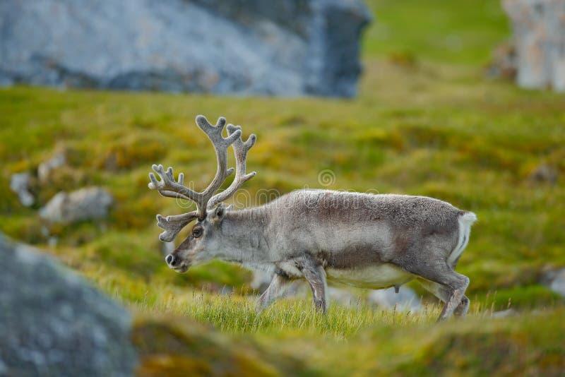 Lös ren, Rangifertarandus, med massiva horn på kronhjort i det gröna gräset, Svalbard, Norge Svalbard hjortar på ängen i Svalba arkivfoton