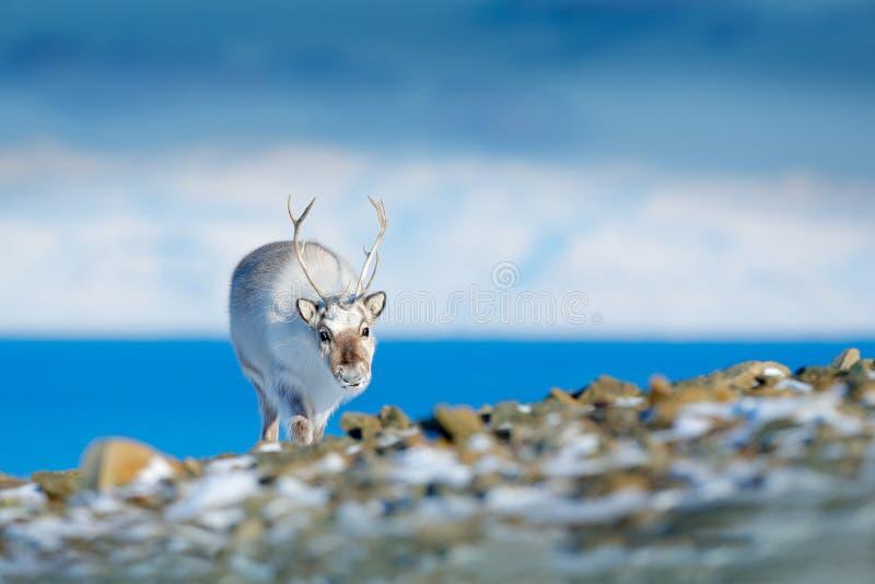 Lös ren, Rangifertarandus, med massiva horn på kronhjort i snö, Svalbard, Norge Svalbard hjortar på det steniga berget i Svalbard arkivfoton