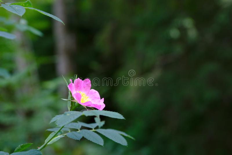 Lös rosa blomma i den svarta Forresten av Tyskland royaltyfri fotografi
