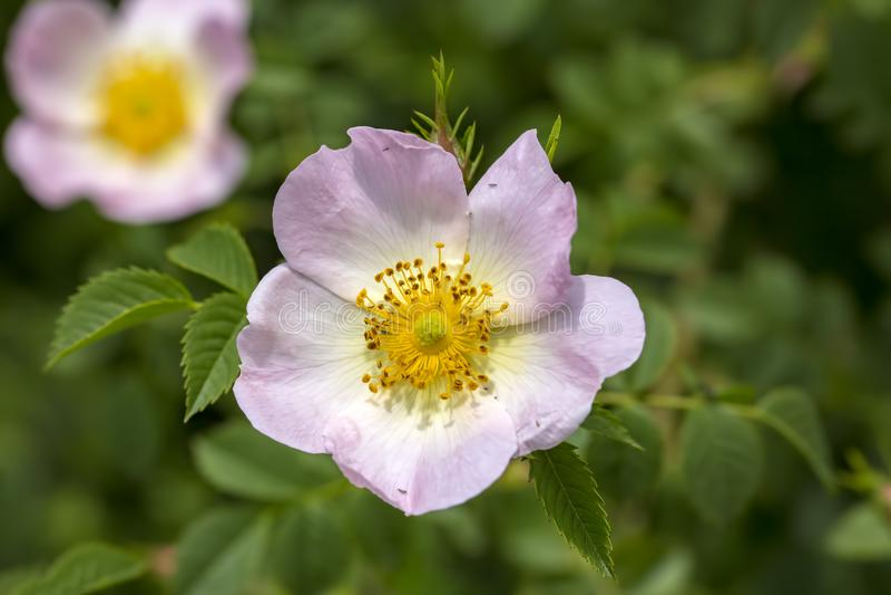 Lös Rose Rosa canina med öppna kronblad i vår arkivfoton