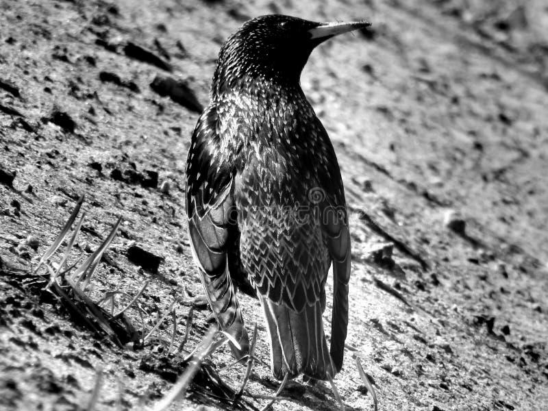 Lös skogfågeltrast på svartvit bild royaltyfria foton