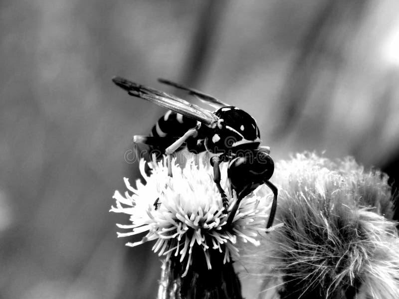 Lös skoggeting på blommor i svartvitt arkivbild