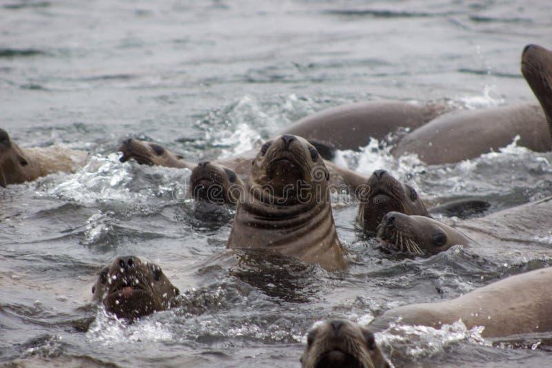 Lös stellersjölejon på den Tuleniy ön nära Sakhalin arkivfoto
