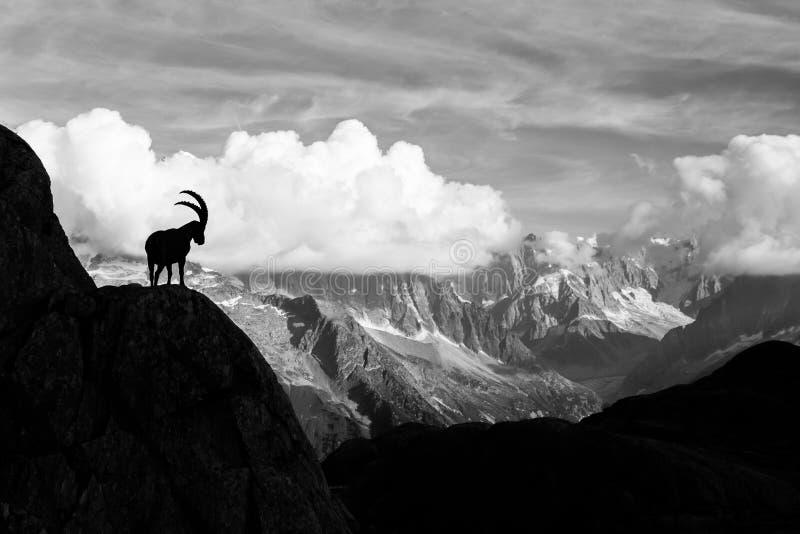 Lös stenbock framme av det Iconic Mont Blanc berget på en Sunny Sum royaltyfri foto