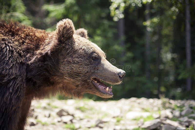 Lös stor manlig brunbjörn fotografering för bildbyråer