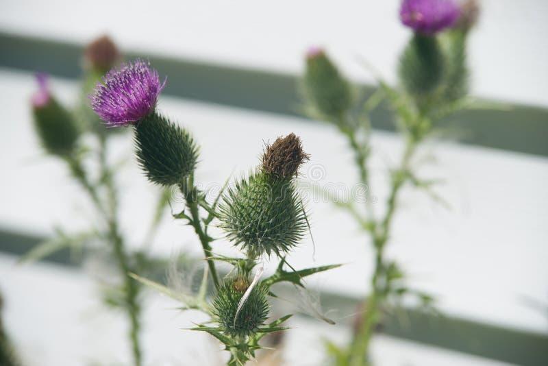 Lös tistel för blomningfröskidor arkivfoton