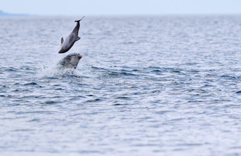 Lös truncatus för tursiops för bottlenosedelfin royaltyfria bilder