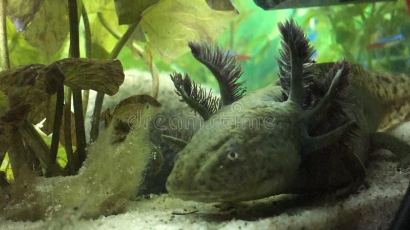 Lös-typ axolotl arkivbilder