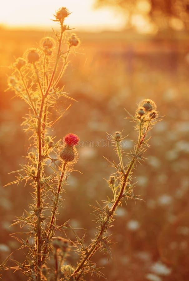 Lös växt på solnedgången arkivbilder
