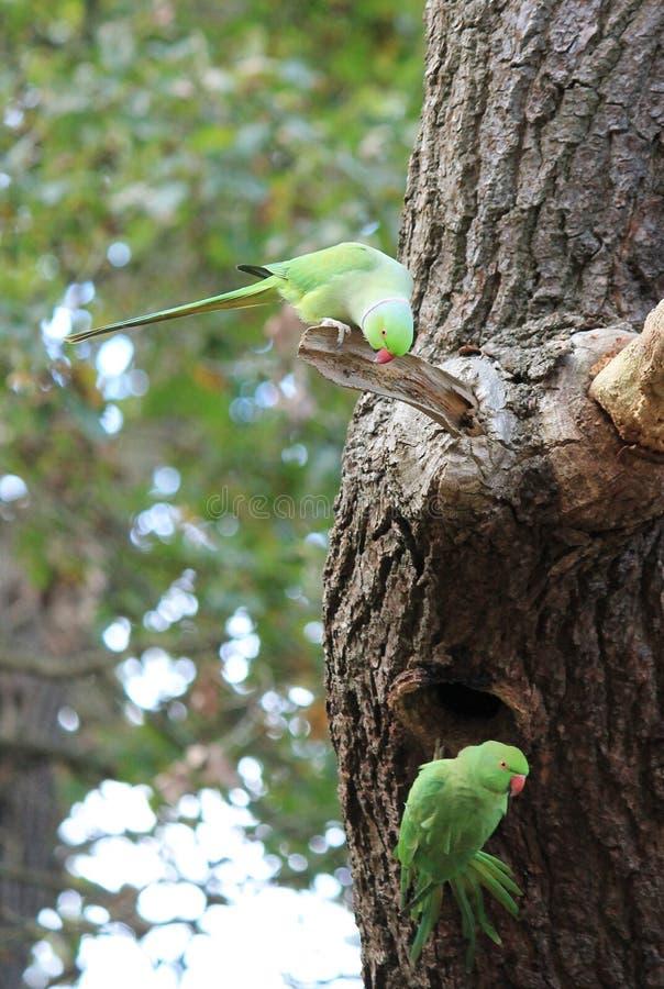 Lös vild Ros-ringed parakiter (psitticulakraneri) i västra London fotografering för bildbyråer