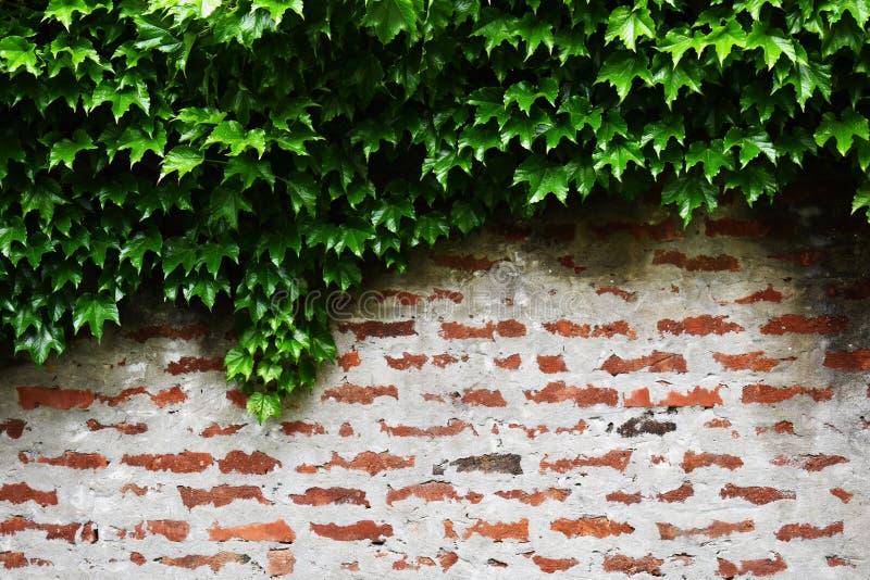 Lös vinrankavegetation över överkant av väggen för röd tegelsten royaltyfria bilder