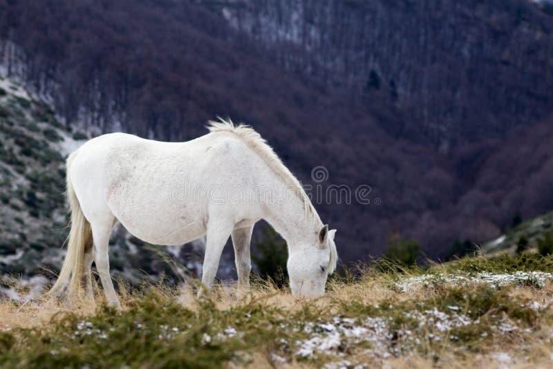 Lös vit mustanghäst, matningar av ett snöig fält royaltyfri foto