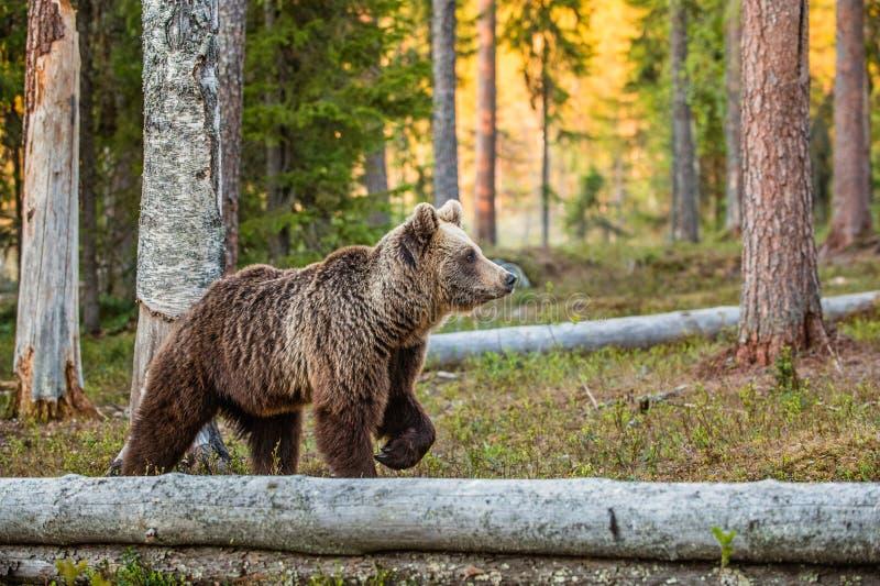 Lös vuxen brunbjörn royaltyfri bild