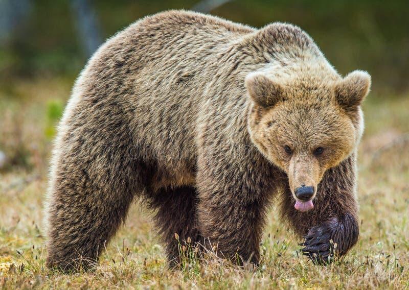 Lös vuxen brunbjörn royaltyfria foton