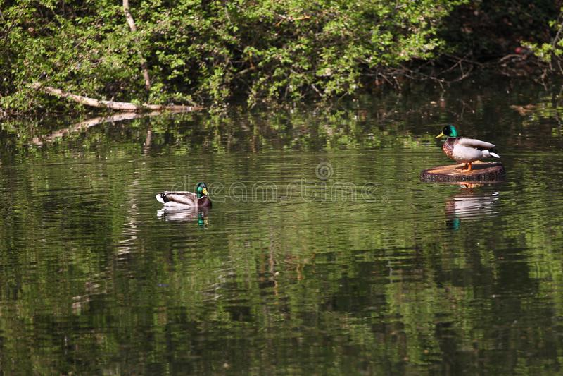 Lösa änder i parkera Gräsandand i natur i sjön Räkningsfoto med änder planlagd bakgrund Faunamodell Fåglar och ani arkivbilder