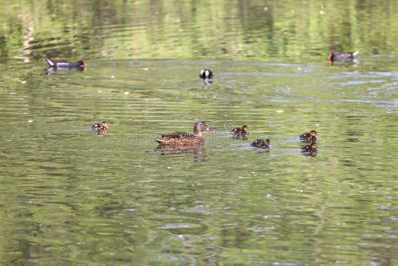Lösa änder i parkera i vårtid Gräsandand i natur i sjön Räkningsfoto med änder Andsimning med henne behandla som ett barn duc royaltyfria foton