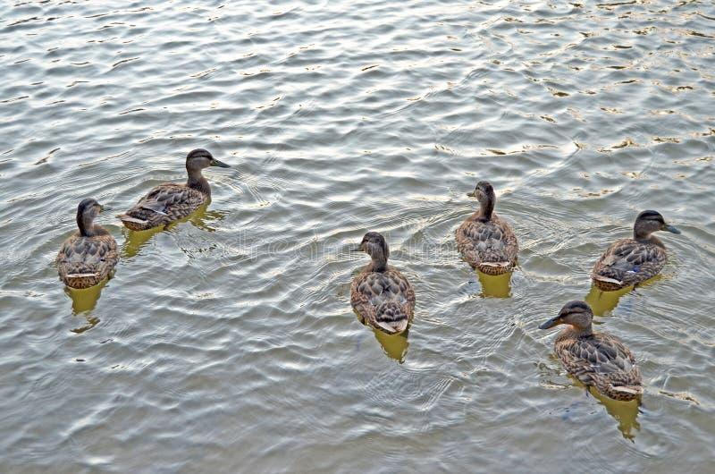 Lösa änder på sjön i naturlig livsmiljö royaltyfri fotografi