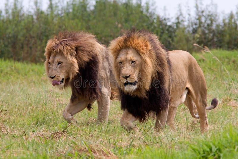 Lösa afrikanska lejon royaltyfri bild