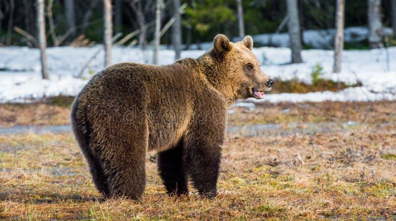 Lösa barnsliga brunbjörnUrsusarctos royaltyfria foton