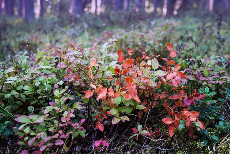 Lösa blåbärsidor i skogen arkivbild