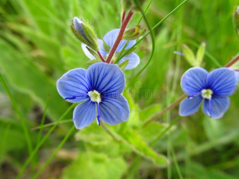 Lösa blått blommar i gräset på ängen royaltyfri fotografi