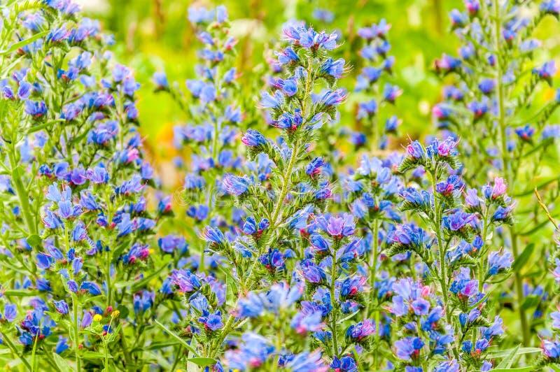 Lösa blommande vibrerande blåa växter för Echiumvulgareblomma fotografering för bildbyråer