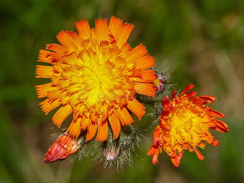 Lösa blommor av Haliburton, PÅ, Kanada arkivbild