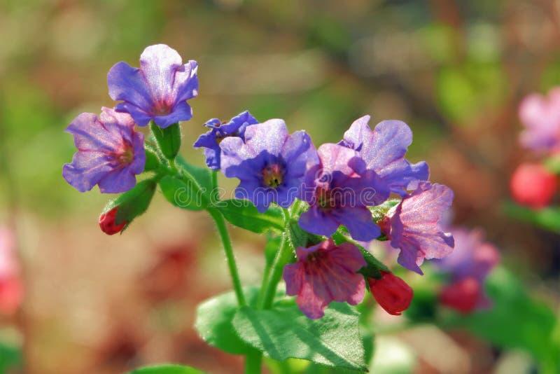 Lösa blommor av lila färg på ett slut för solig dag upp arkivbild