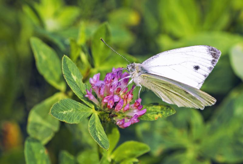 Lösa blommor av växt av släktet Trifolium och fjärilen i en äng i natur fotografering för bildbyråer