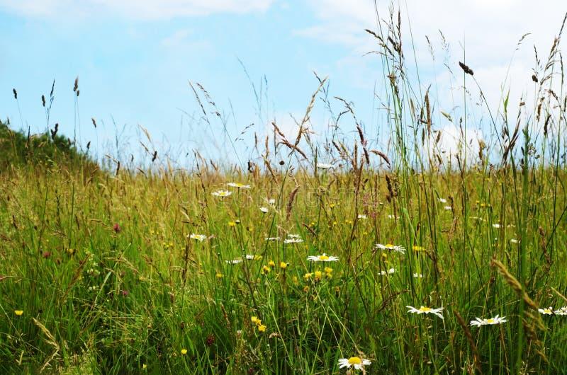 Lösa blommor bland långa gräs i sommar royaltyfria bilder