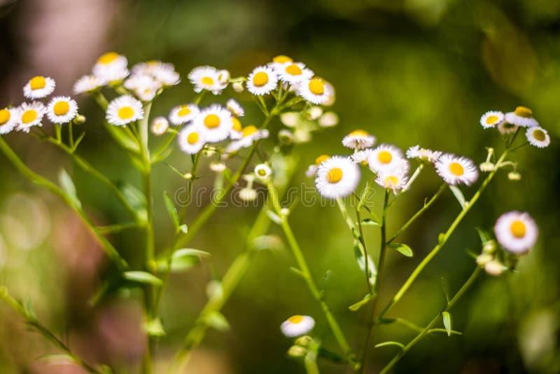 Lösa blommor för kamomill royaltyfria bilder