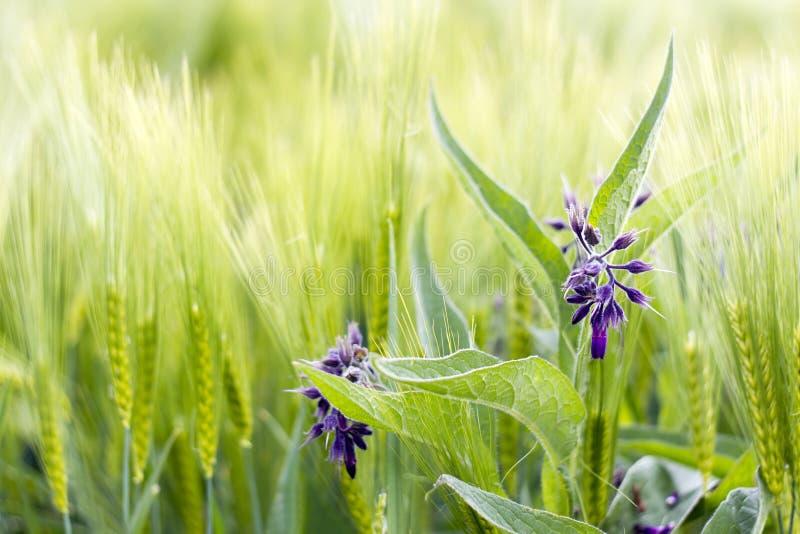 Lösa blommor i ett kornfält arkivfoton