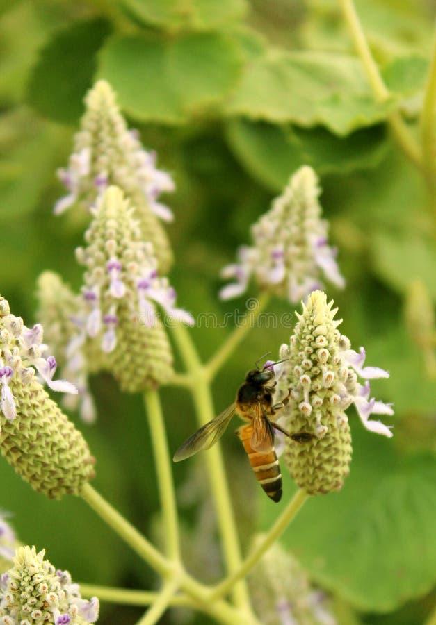 Lösa blommor och honungbi med grön bakgrund fotografering för bildbyråer