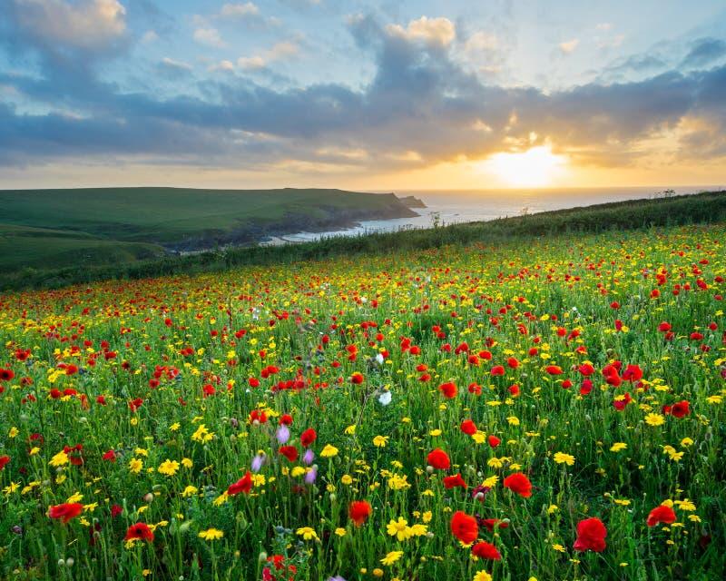 Lösa blommor på det Porth skämtet Cornwall royaltyfri foto