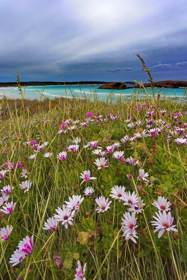 Lösa blommor på skymninglilla viken i västra Australien royaltyfri bild