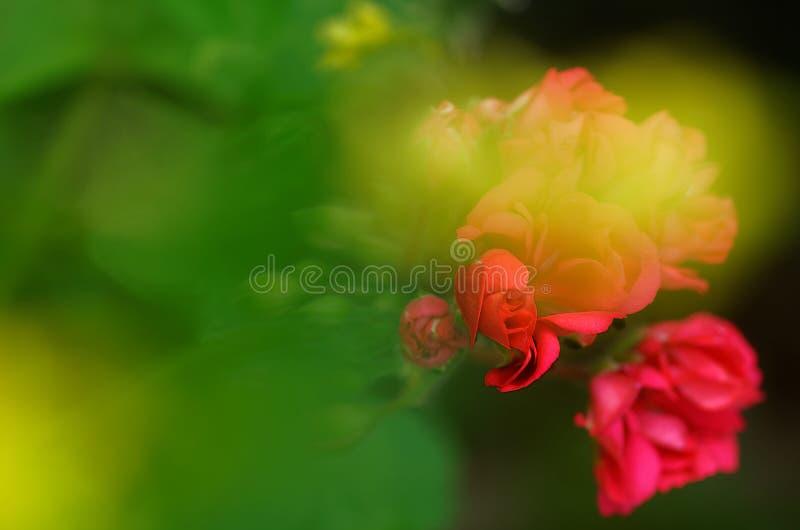 Lösa blommor stänger sig upp, med oskarp abstrakt bakgrund arkivbilder