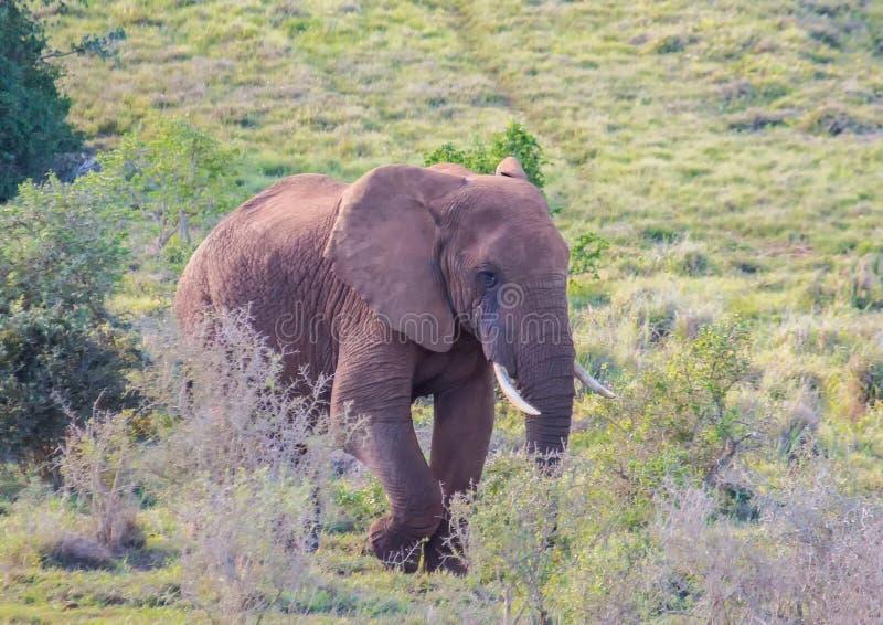 Lösa bosatta afrikanska elefanter på Addo Elephant Park i Sydafrika arkivbild