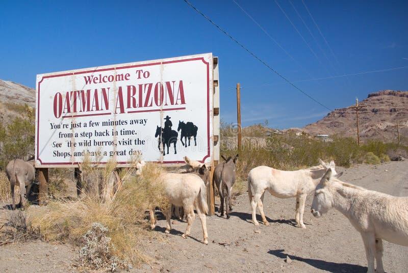 Lösa Burros längs Route 66 nära Oatman Arizona fotografering för bildbyråer