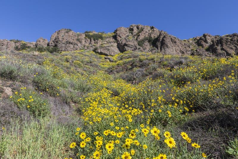 Lösa Bush solrosor i Thousand Oaks, Kalifornien arkivbild