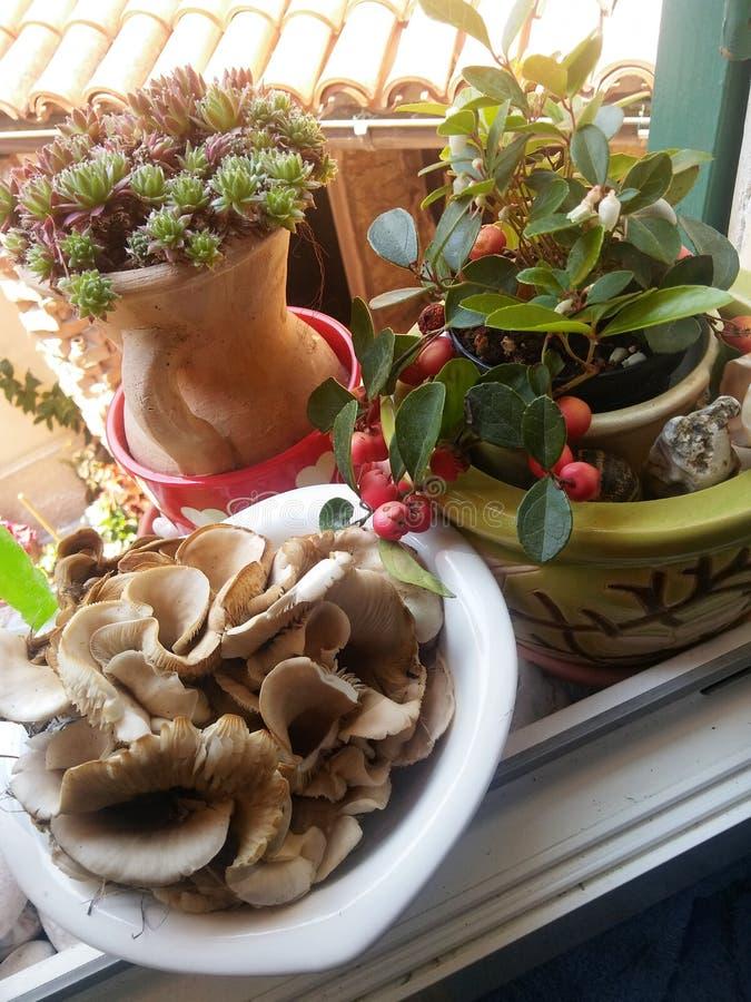 Lösa champinjoner på fönsterbrädan av lantbrukarhemmet arkivfoton