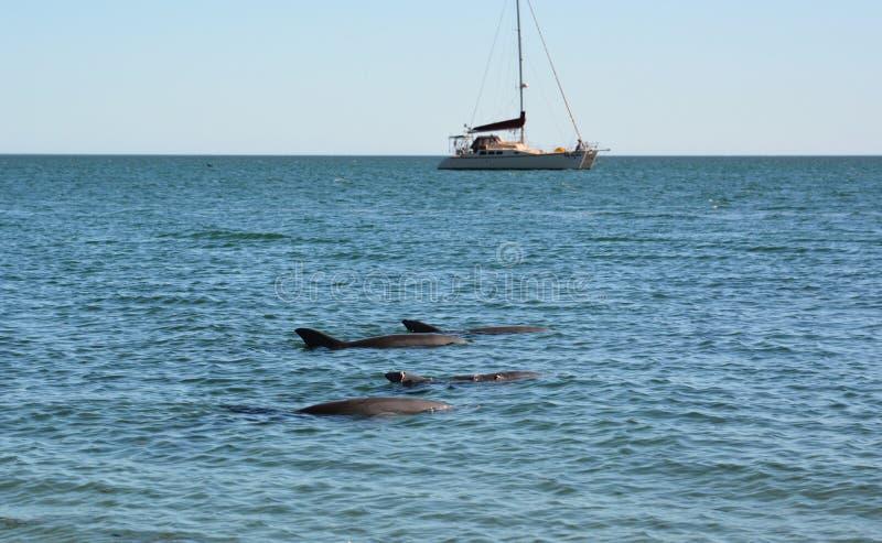 Lösa delfin som simmar på fjärden Apa Mia Hajfjärd Västra Australien royaltyfri fotografi